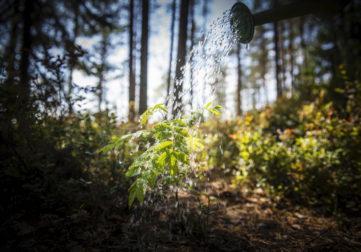 Pihlajan taimea kastellaan kastelukannulla