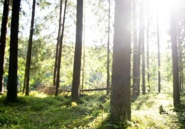 Aurinko paistaa metsän läpi.